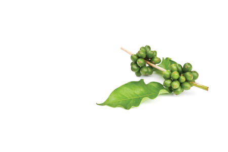 Healthy green coffee bean